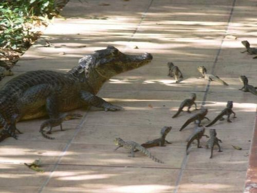 """bone-fiends: """" tinygoblin: """" viergacht: """" Look at this beautiful Floridian Swamp Cat and her adorable kittens. """" That There is A Gator """" No that's a Floridian Swamp Cat """""""