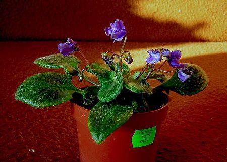 """Celery sport (Dates) Dark blue wasp blossoms. Variegated Ruffled bustled longifolia foliage. Standard.  Темно-синие цветы формы """"оса"""". Волнистая турнюрная пестрая листва удлиненной формы. Стандарт."""