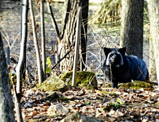 Rare black Fox but so beautiful zooecomuseum all rescued animals here in canada so beautiful