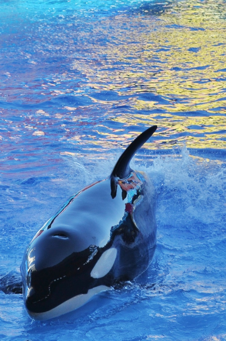 characteristics of the killer whale Common names – killer whale, orca, blackfish, grampus characteristics despite the name killer whale, these creatures are actually the largest members of.