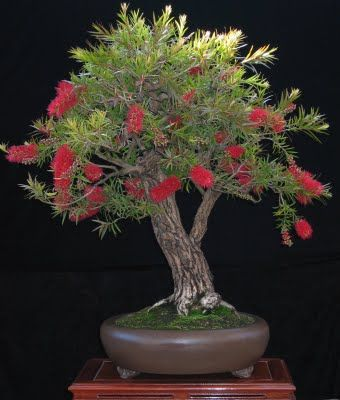 Native Australian Bottlebrush bonsai, broom style.