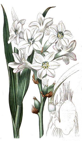 Polianthes tuberosa / Sedap Malam