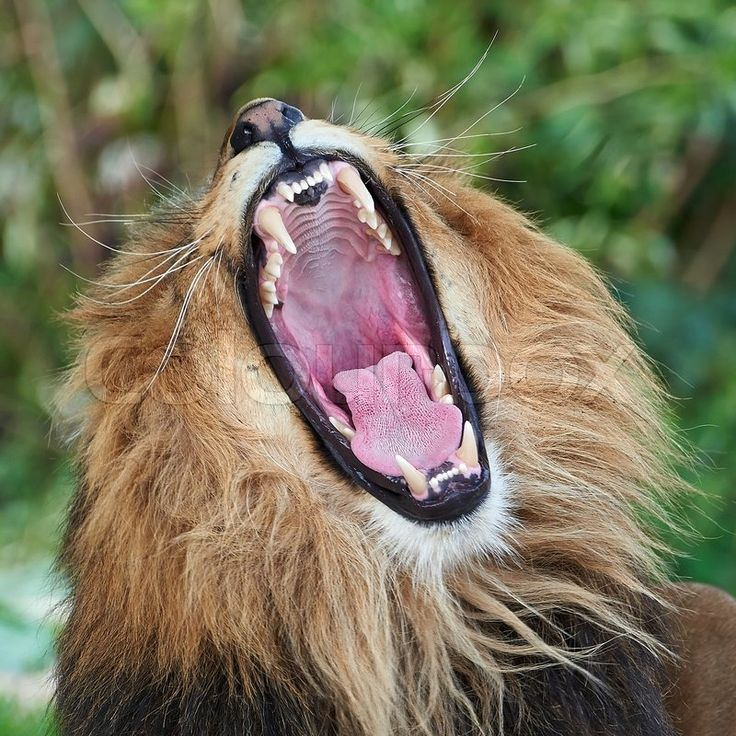 Sold today Lion (Panthera leo) | Stock Billede | Colourbox on Colourbox