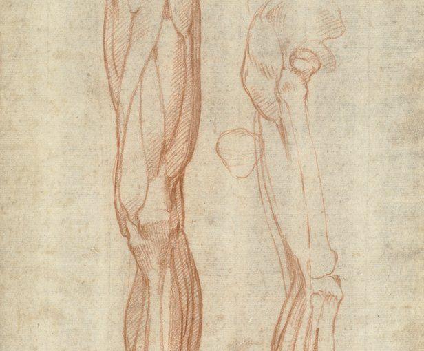 Estos dibujos de la pierna humana pertenecen al artista Michelangelo Buonarroti (1475-1564). Los primeros biógrafos, Vasari (1550) y Condivi (1553), registraron estos estudios de anatomía del artista. Según se informó, Michelangelo disecó por primera vez un cadáver en Florencia alrededor de 1495, luego de que se le hubiese encargado esculpir un crucifijo de madera para la iglesia de Santo Spirito. El abad de la iglesia le cedió habitaciones en las que podía, por medio de la disección…