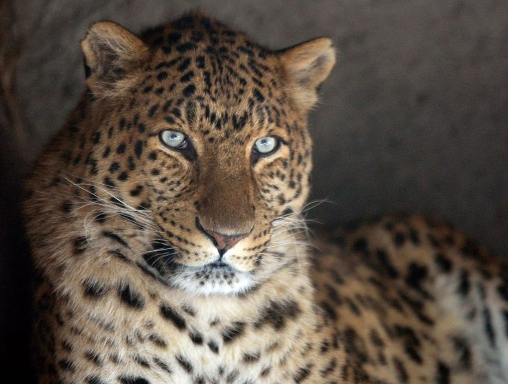 leopard cheetah hybrid - photo #11