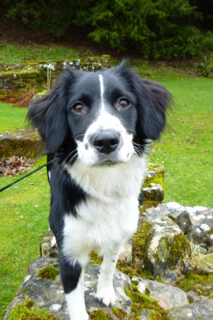 18 best springer spaniel border collie mix images on