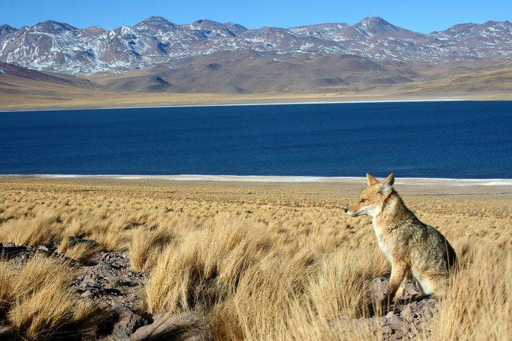 Zorro culpeo (Lycalopez culpaeus) Laguna Miscanti, región de Antofagasta - Chile. Fotografía: Daniel Gomez-Lobo Fehling
