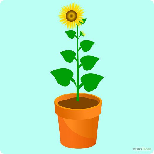 How to Grow a Sunflower in a Pot: 14 Steps (with Pictures). I've always wanted to successfully grow flowers... and sunflowers are one of my favorites. Let's give this another go 'round this spring!
