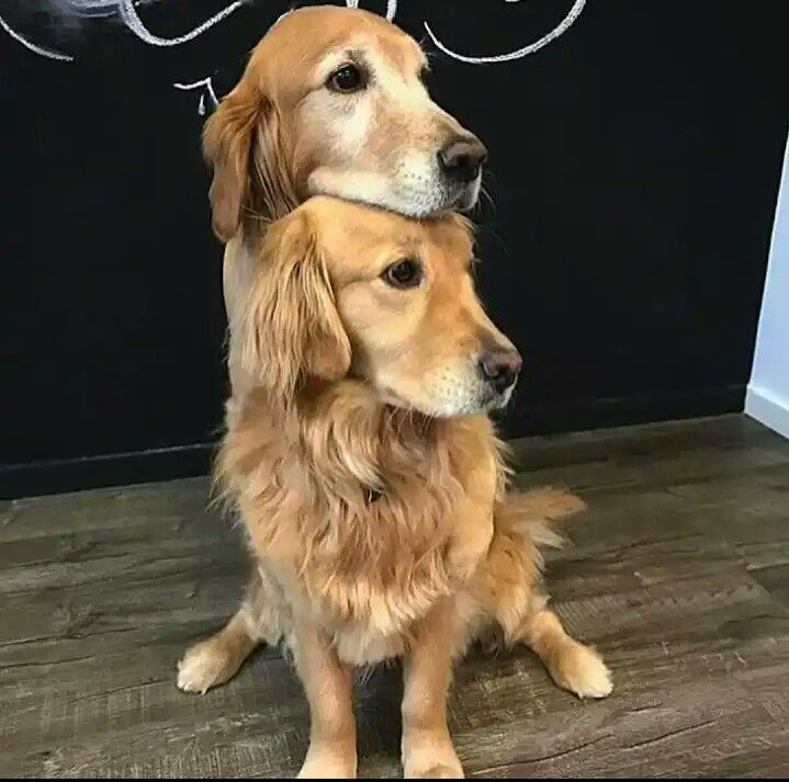 A Two Headed Dog Cute Animals Puppies Dogs Golden Retriever