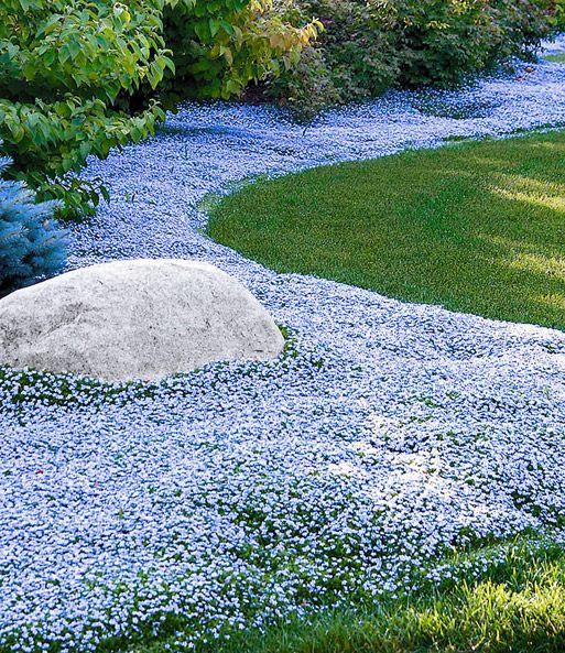 Isotoma 'Blue Foot®' begehbarer Bodendecker Blüte Juni-August