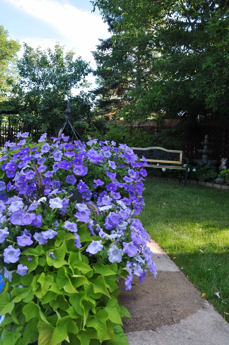 Blue wave petunias and lime potato vine.