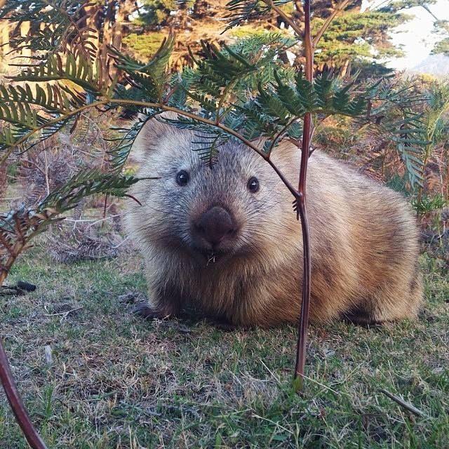 Wombat - Maria Island in Tasmania