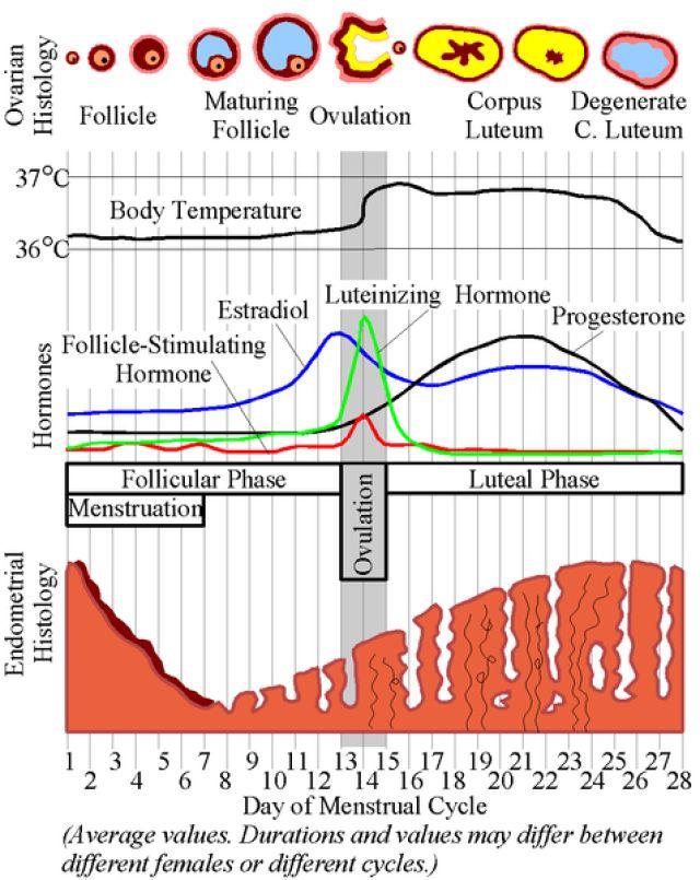 Ciclo menstrual: información básica para el embarazo o su prevención: Fase preovulatoria y postovulatoria