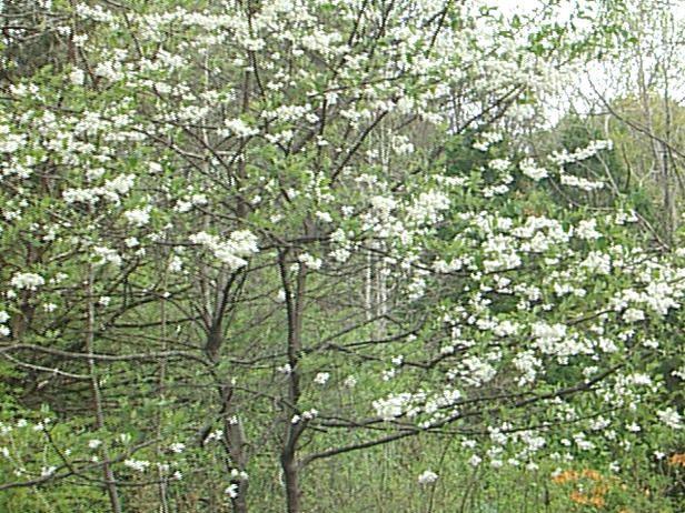 7, Carolina silverbell, understory woodland tree or sun specimen tree.