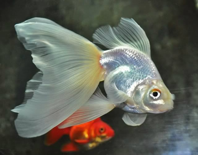 White fantail with the exotic upside-down caudal fin that's so hot this season