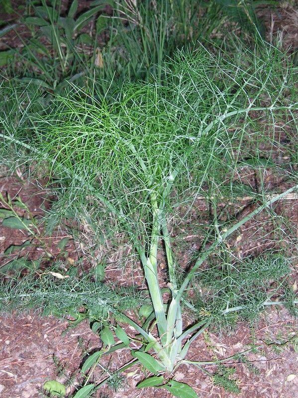 Les plantes sauvages comestibles Plus