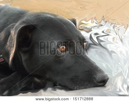 Black Staffordshire terrier and Labrador cross dog.