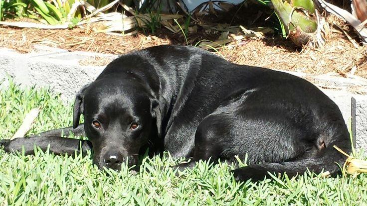 Shiny hound