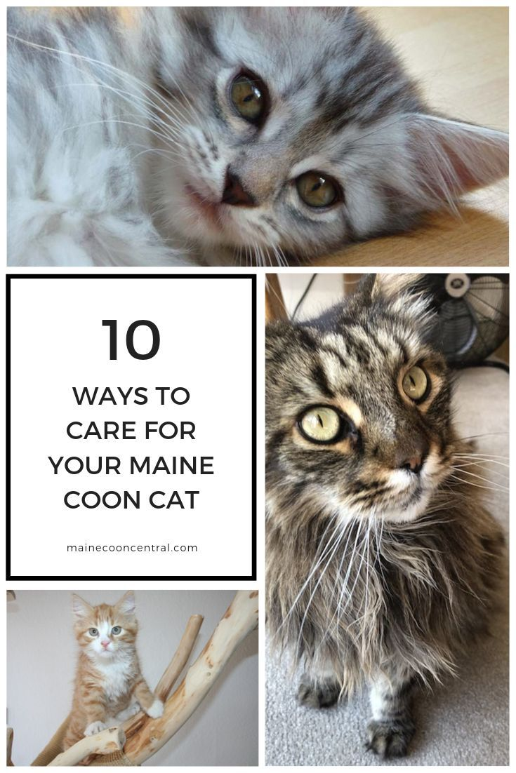 Pin On Maine Coon Diet