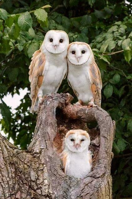 A Barn Owl Family: Dad, Mom And Their Owlet.