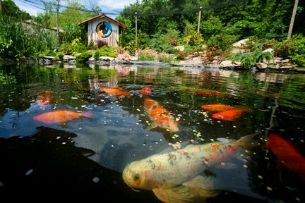 40 best images about koi fish delightfuls on pinterest for Koi pond store