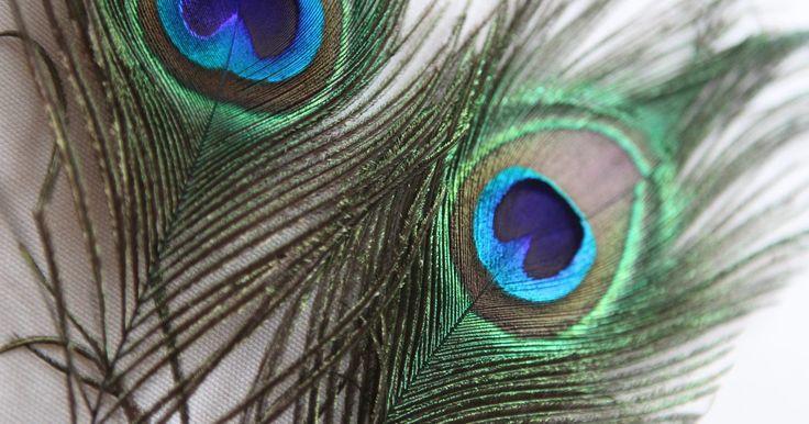 Como colar penas de pavão em um tule. As penas do rabo de um pavão podem deixar um vestido, um véu ou um tutu feito de tule ainda mais bonitos. A cultura asiática costuma incorporar penas de aves em vestidos de noiva. A plumagem de luxo de uma pena de pavão contrasta com o aspecto amassado do tecido do tule. Ao colocar penas de pavão nesse tecido, o melhor é não colá-las diretamente, ...