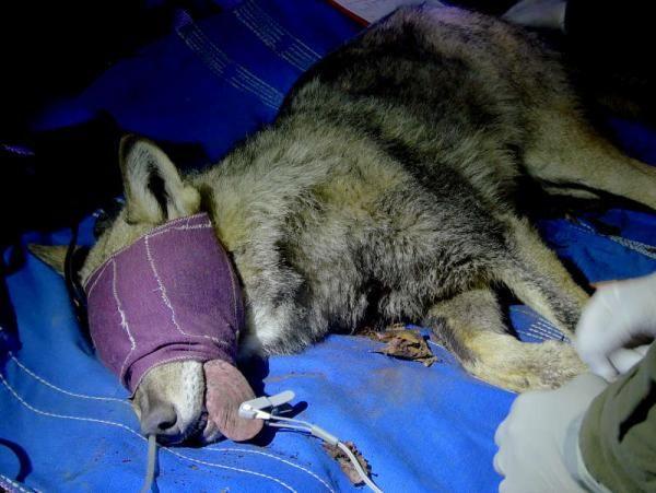 Wolfnet 2.0, catturata una femmina di lupo