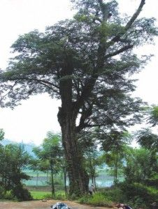 Biblical plants and trees 2 - Almug tree - Yvonne Ostman