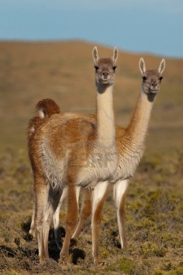 Now these guys are the ultimate #travelcompanion! Guanacos (Lama Guanicoe) in Patagonia