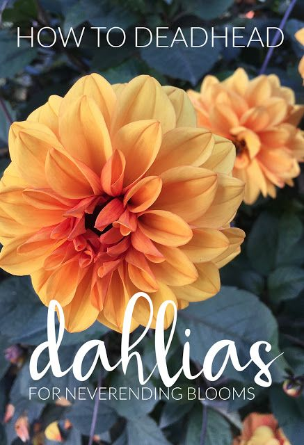 The Impatient Gardener: HOW TO DEADHEAD DAHLIAS FOR BLOOMS ALL SEASON LONG