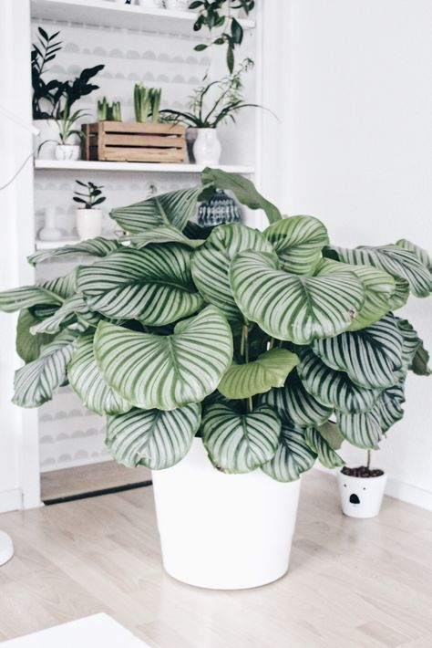 Calathea Wohnzimmer Pflanze