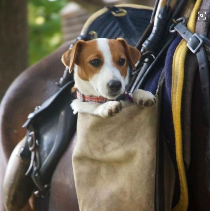 See this all the time in the horse world. The famous Jack Russel. Smart and brave.