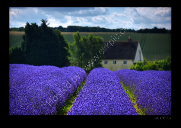 Google Image Result for http://www.mickkirton.com/images/C124_Lavender_fields_of_England.jpgGoogle Image, Favorite Places, Image Results, Mothers Flower