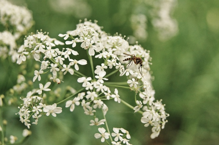 #macro #insect  #fly #summer #nature #sony #flowers