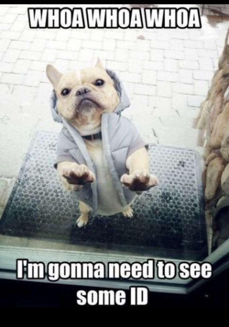 We are obsessed with these memes! Something about french bulldogs' squishy funny faces and their clown personalities make them perfect for hilarious memes and photos. Related Posts 10 Best Gifts For A French Bulldog Lover How To Find The Right French Bulldog Breeder 9 Funniest Viral Frenchie Videos of 2016