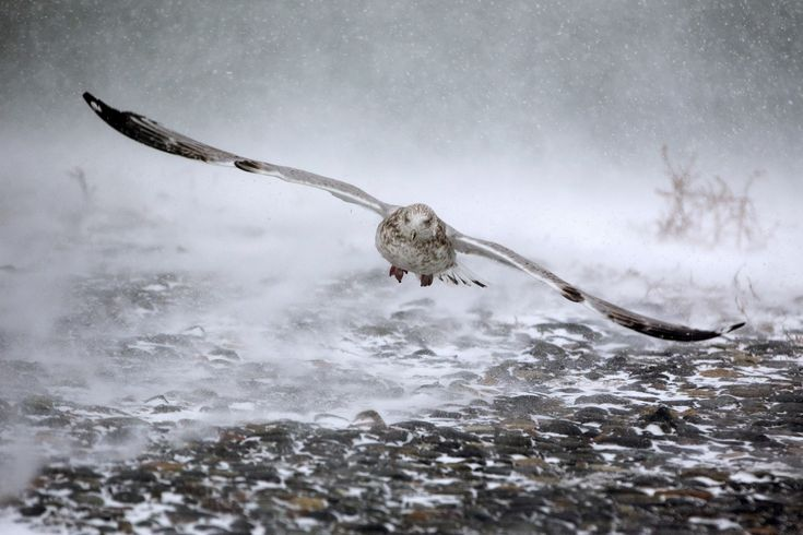 Massachusetts, USA  A seagull takes flight in high winds as a massive winter storm begins to bear down on Hull in Massachusetts. Photograph: Scott Eisen/Getty Images