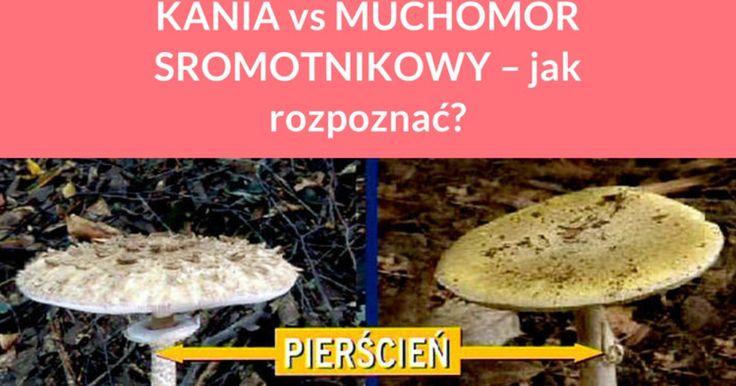To prawda, że smażona kania jest pyszna. Jednak wielu początkujących grzybiarzy nie decyduje się na przynoszenie jej do domów ze względu na duże podobieństwo do muchomora sromotnikowego. Jeżeli nie potrafimy ...