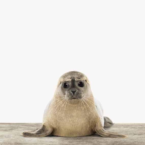 Kleiner Seehund mit großen freundlichen Augen. Dieses ArtyAnimal gibt es auf sieben verschiedenen Materialien!