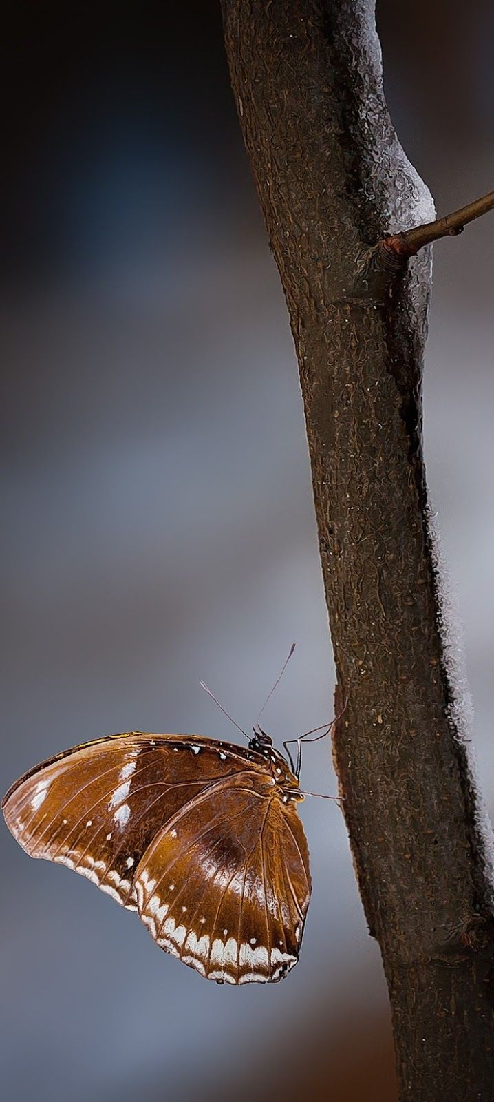 A brown butterfly climbing a branch