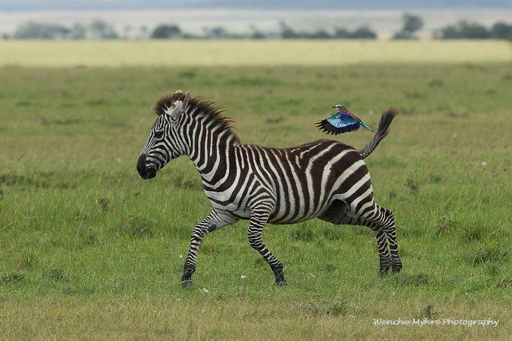 Photo by Wenche Myhre, Masai Mara (Mara North Conservancy) 21st of January 2014.