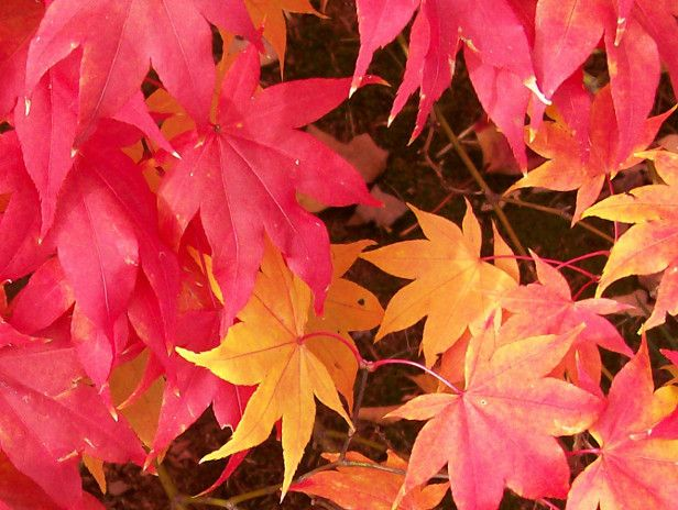 How to Find the Best Fall Foliage >> http://blog.diynetwork.com/maderemade/2013/10/24/find-the-best-fall-foliage?soc=pinterestFall Leaves, Fall Y All, Hgtvgardens Community, Autumn Leaves, Hgtv Gardens, Fall Foliage, Favorite Autumn, Gardens Reader, Autumn Leaf