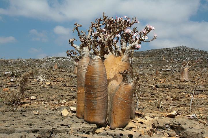 Albero bottiglia - Sull'isola di Socotra, al largo dello Yemen, si trova l'albero bottiglia o rosa del deserto di Socotra (Adenium obesum socotranum) così chiamato per la caratteristica forma gonfia della base del tronco, ricco di liquidi e nutrienti.