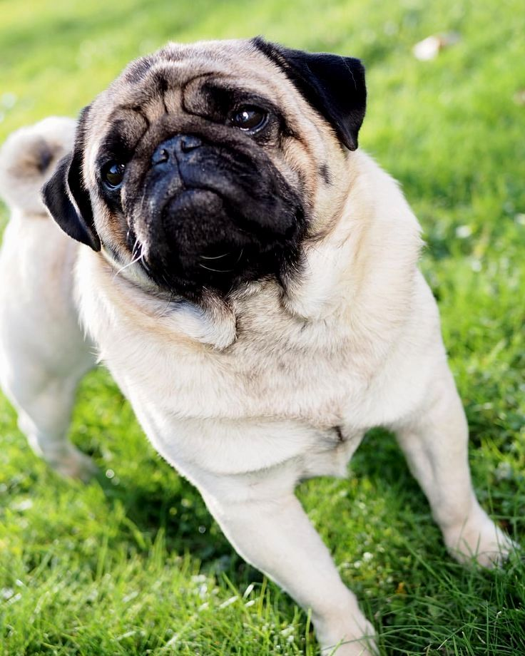Pin By Michelle Eastham On Pug Luv Pugs Training Your Dog
