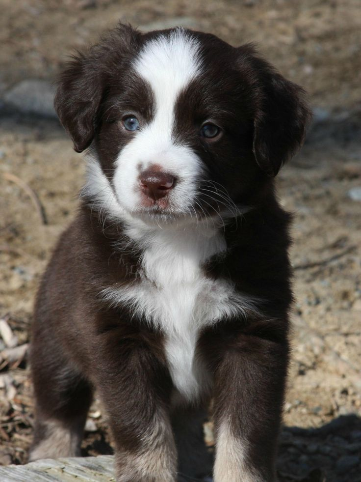 mini aussie shepherd. I will own one that looks like this in the future