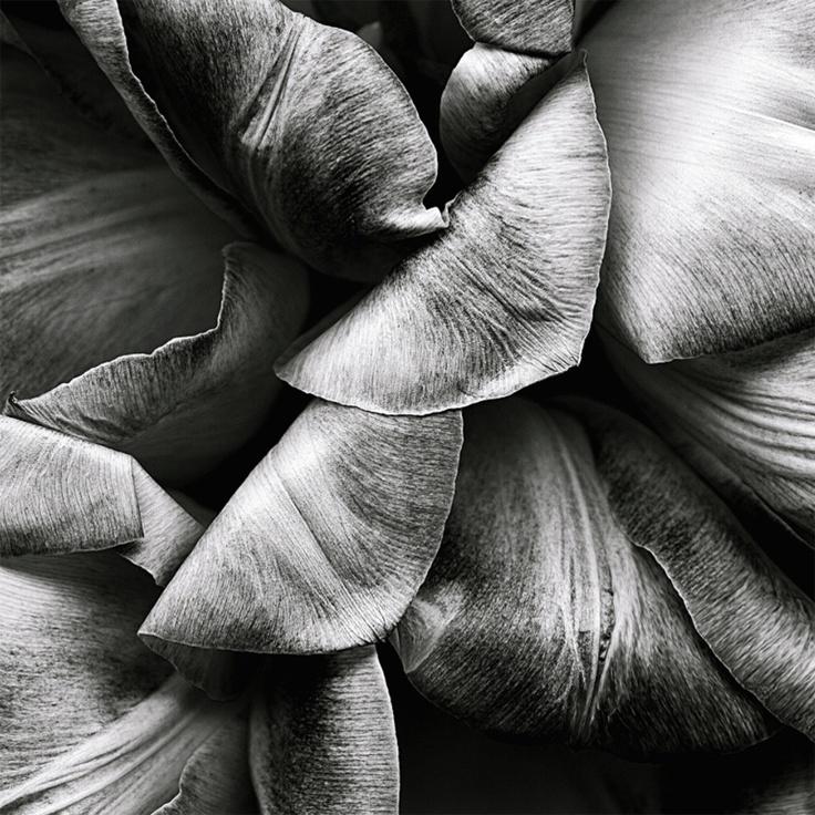 Frozen tulips by Kate Scott