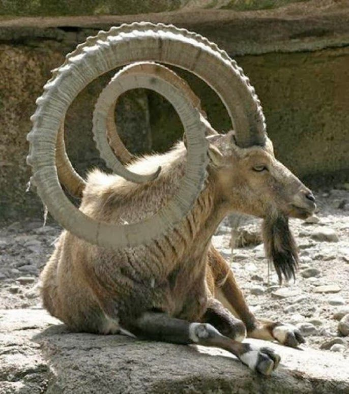 MARKHOR PAkistan's NATIONAL Animal. The animal is largely found in the Northern Areas of Pakistan especially in Chitral, Ghizar and Hunza regions.Markhors are species of wild goat.They are highly endangered with less than 2,500 left in the wild and will go extinct within the next 50 years.