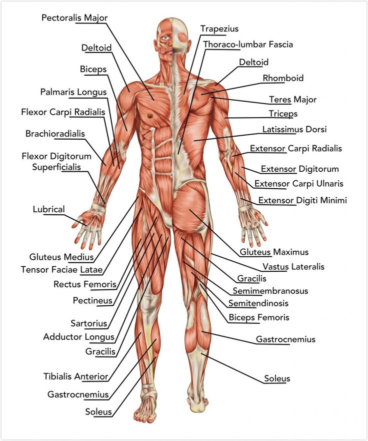 9 best Muskeln images on Pinterest | Human anatomy, Muscles and ...