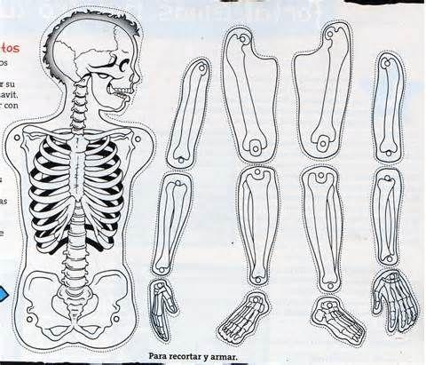 Posts Related Esqueleto Humano Para Educaci Primaria