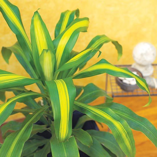 Dracaena  Don't confuse this plant with the vegetable of the same name. This beautiful houseplant offers variegated leaves and a single upright stem -- so it resembles a decorative corn stalk without the ears. Plant several together in a large container for a fuller appearance.