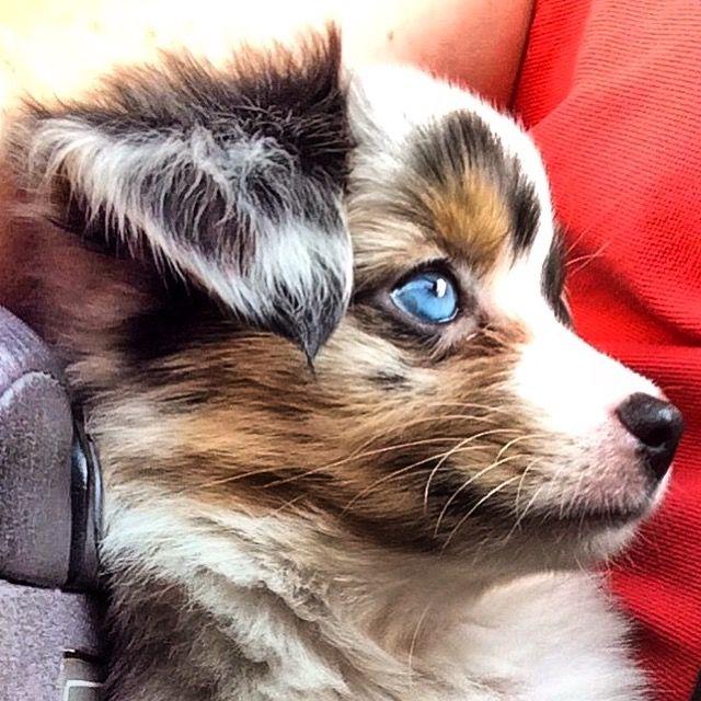 Oakley~My  blue merle toy Aussie from cheyennestaraussies.com